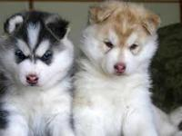 Super adorable Siberian Husky puppies. So gentle and