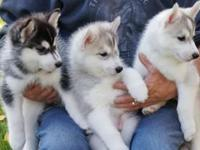 Animal Type: Dogs Breed: Siberian Husky Super adorable