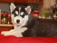 Adorable AKC registered puppies for sale. Puppies born