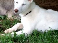 I have 2 all white , bi eyed siberian husky male pups