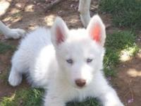 I have 4 beautiful all white male siberian husky pups