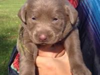 Silver Lab Puppies that are ready to go to their