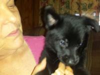Solid black pups 2 males and 1 female available. Old