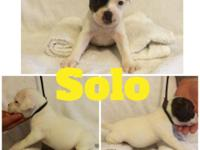 Solo is our pied male ready for his forever home August