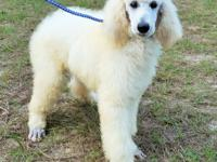 AKC Standard Poodles from Champion Lines born July 12.