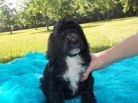 We have a lovely litter of AKC signed up Standard