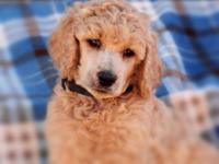4 conventional poodle young puppies all males with lots