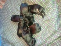 AKC registered Standard Schnauzer puppies. 6 males,