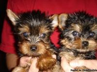 These are AKC registered Yorkie puppies. They are