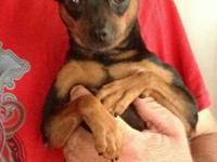 I have a sweet male min pin forsale. He is 1 1/2 yrs