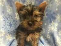 Tiny AKC registered yorkie young puppies for sale. One