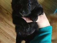 AKC registered toy sized Pomeranian puppies both boys.
