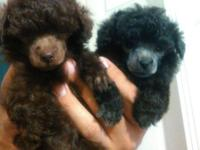 AKC Toy Poodle Puppies. My young puppies were born