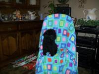 AKC Registered Toy Poodle New puppy, really smart, has