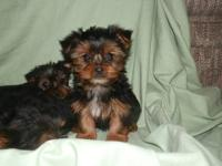Darling YORKIE Puppies, 10 weeks. First shots, wormed.