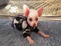 For sale AKC registered true hairless Chinese Crested