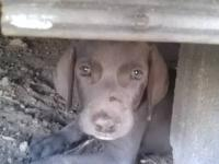 I have 3 beautiful blue weimaraner puppies, 2 females