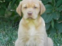 AKC Registered Yellow Labrador Retriever Pup 1 Female -