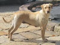 Bailey is a stunning AKC Registered Yellow Lab. She is