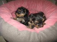 we have a litter of beautiful Yorkshire terrier