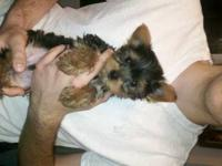 Akc register yorkie puppies. I have 3 cute boys and 1