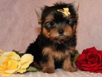 we have four teacup Yorkie puppies that we are looking