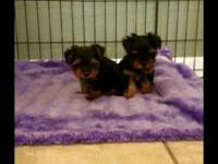 Hello I have 2 9 week old male yorkie puppies for sale