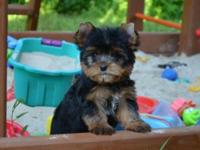 Beautiful AKC Limited Registered Yorkie pups. 12 weeks