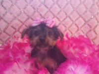 Purebred yorkie puppy ready for a new home! She is AKC