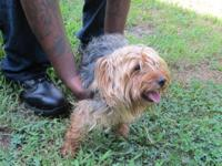 We are selling our 16 month old Yorkshire Terrier male.