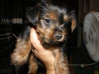 Chewey is an AKC registered male Yorkshire Terrier born