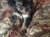 3 female and 1 male Yorkie puppies for sale. Born June