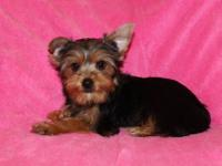 Sweet little Yorkshire terrier puppy for sale, her