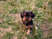 AKC Registered Yorkshire terrier available for sale. He