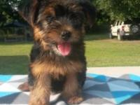AKC registered Yorkshire Terrier female puppy for sale.