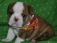 We have Beautiful Quality English Bulldog puppies