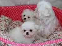 We have young FOUR Maltese puppies (1 boy and 2 girls)