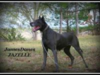 AKC Retired Breeding Adult Female Blue Great Dane
