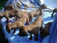 Huge lovely litter of male and female ridgeback dogs