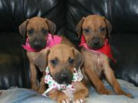 AKC Rhodesian Ridgeback puppies, born 5-29-15, for sale