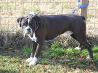 Meet Roman:) He is a covered Brindle (Monochrome) 31/2