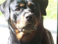 AKC Rottweiler, three year old female. Completely