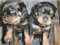 AKC Rottweiler Puppies from Imported Champion Lines .