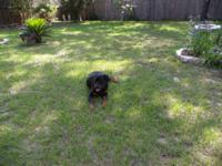 Female spayed rottie,1.5 years old,90 lbs, need to
