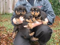 AKC Rottweiler Puppies, 2 males and 1 female German