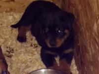 We have 1 male and 1 female Rottweiler puppy left. They