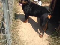 I have a AKC registered Rottweiler that I am trying to