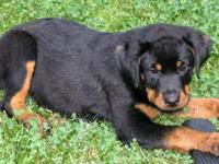 Roxie is a beautiful AKC Female Rottweiler. We love her