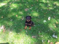 AKC Rottweiler pup. Wouldnt she make the perfect gift!!