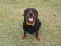 I am having to sell my wonderful rottweiler female. She